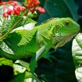 Todo sobre iguanas cuidados, características curiosidades.